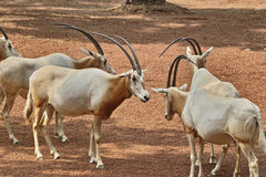 Scimitar oryx Stock Photography