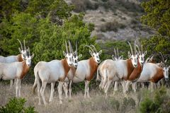 Scimitar Oryx Herd. Close up Stock Photos