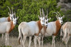 Scimitar Oryx Herd. Close up Stock Images