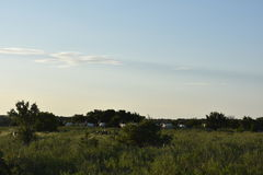 Scimitar Oryx Herd. Herd of scimitar oryx in the distance Stock Photography
