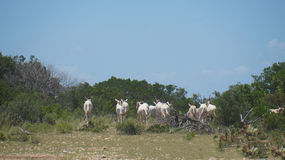 Scimitar Oryx Herd. Running away Stock Photos