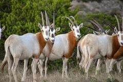 Scimitar Oryx Herd. Close up Stock Image