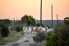 Scimitar Oryx Herd. At sunset Stock Photos