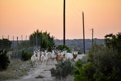 Scimitar Oryx Herd. At sunset Royalty Free Stock Image