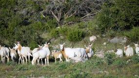 Scimitar Oryx Herd. Herd of wild Scimitar Oryx Royalty Free Stock Photo