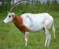 The scimitar oryx. Or scimitar-horned oryx, also known as the Sahara oryx, is a species of Oryx once widespread across North Africa which went extinct in the Royalty Free Stock Photo