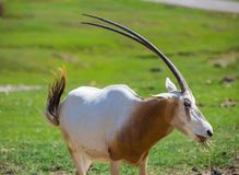 The scimitar oryx or scimitar-horned oryx Oryx dammah.  stock images