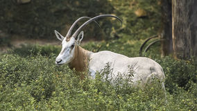 The Scimitar Oryx Royalty Free Stock Photography