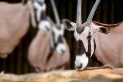 The scimitar oryx Royalty Free Stock Image