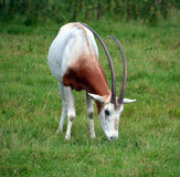 The scimitar oryx. Or scimitar-horned oryx Oryx dammah, also known as the Sahara oryx, is a species of Oryx once widespread across North Africa which went Stock Photography