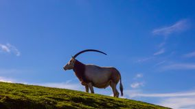 The scimitar oryx or scimitar-horned oryx Oryx dammah. Also known as the Sahara oryx stands on a hill with a blue sky. A profile portrait shows the length of Stock Images