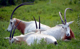 Scimitar oryx. Or scimitar-horned oryx or Sahara oryx, is a species of Oryx once widespread across North Africa which went extinct in the wild in 2000 Stock Images