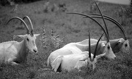 Scimitar oryx. Or scimitar-horned oryx or Sahara oryx, is a species of Oryx once widespread across North Africa which went extinct in the wild in 2000 Stock Photography
