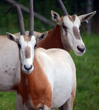Scimitar oryx. Or scimitar-horned oryx or Sahara oryx, is a species of Oryx once widespread across North Africa which went extinct in the wild in 2000 Royalty Free Stock Photo