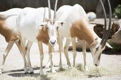 Scimitar Oryx Royalty Free Stock Photo