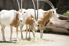 Scimitar Oryx Stock Images