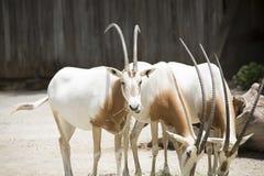 Scimitar Oryx Royalty Free Stock Image