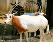 A Scimitar Oryx at the Memphis Zoo Stock Images