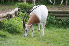 Scimitar Oryx - Oryx dammah Royalty Free Stock Photo