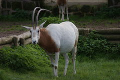 Scimitar Oryx - Oryx dammah Royalty Free Stock Photos