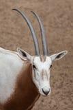 Scimitar oryx Oryx dammah. Also known as the Sahara oryx or scimitar-horned oryx Royalty Free Stock Photography