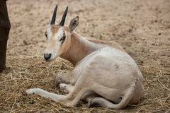 Scimitar oryx Oryx dammah. Also known as the Sahara oryx or scimitar-horned oryx Stock Images