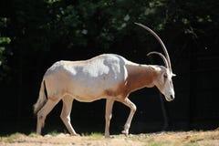 Scimitar oryx (Oryx dammah) Stock Images
