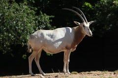 Scimitar oryx (Oryx dammah) Stock Image
