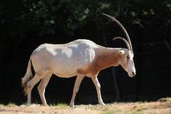 Scimitar oryx (Oryx dammah) Royalty Free Stock Image