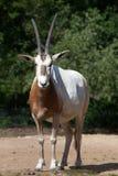 Scimitar oryx (Oryx dammah). Stock Photography