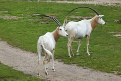Scimitar oryx Oryx dammah. Also known as the Sahara oryx or scimitar-horned oryx Stock Photo