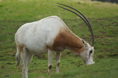 Scimitar Oryx - Oryx dammah Stock Photos