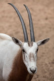 Scimitar oryx Oryx dammah Royalty Free Stock Images