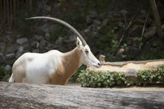 Scimitar Oryx Stock Photo