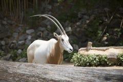 Scimitar Oryx Stock Photos