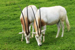Scimitar Oryx`s. A pair of grazing Scimitar Oryx`s Stock Images