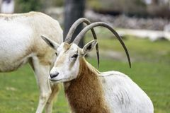 The scimitar oryx or scimitar-horned oryx Oryx dammah stock images