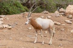 A scimitar oryx or scimitar-horned oryx Oryx dammah stock photos