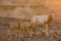 Scimitar oryx during sunset royalty free stock image