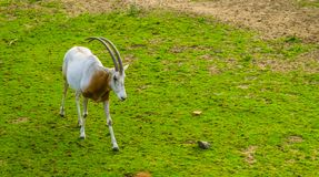 Scimitar oryx walking in a grass pasture, animal specie that is extinct in the wild. A scimitar oryx walking in a grass pasture, animal specie that is extinct in stock photography