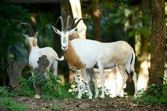 Scimitar oryx. The scimitar oryx was once widespread in northern Africa Stock Photography