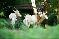 Scimitar oryx. The scimitar oryx was once widespread in northern Africa Stock Image