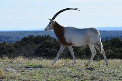 Scimitar Oryx in the Wild. Close up of a scimitar oryx in the wild on top of a mountain Royalty Free Stock Photo