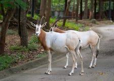 Scimitar oryx in zoo Royalty Free Stock Photos