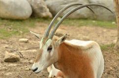 Scimitargehörnter Oryx stockbilder