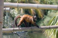 Scimmia 2 Immagine Stock