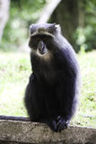 Scimmia Fotografia Stock