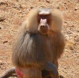 Scimmia. Immagini Stock