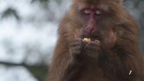 Scimmia archivi video