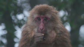 Scimmia video d archivio